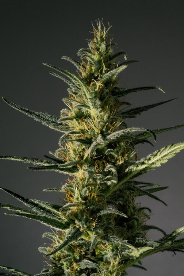 Candida (CD-1) - Medical Marijuana
