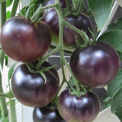 Black Cherry Tomaten, Setzling