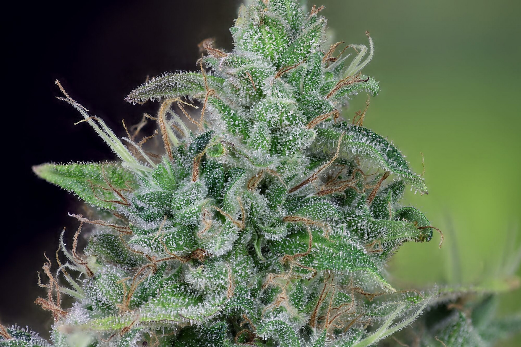 Doctor Seedsman CBD 30: 1 - Seedsman